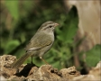 Olive-Sparrow;Sparrow;Texas;Southwest-USA;Arremonops-rufivirgatus;one-animal;clo